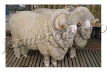 содержание и уход за овцами Меринос