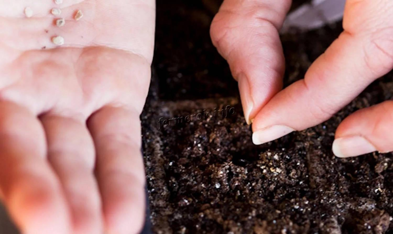 Выращивание цветов бархатцев