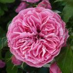 Посадка, выращивание и уход за розой Флорибунда