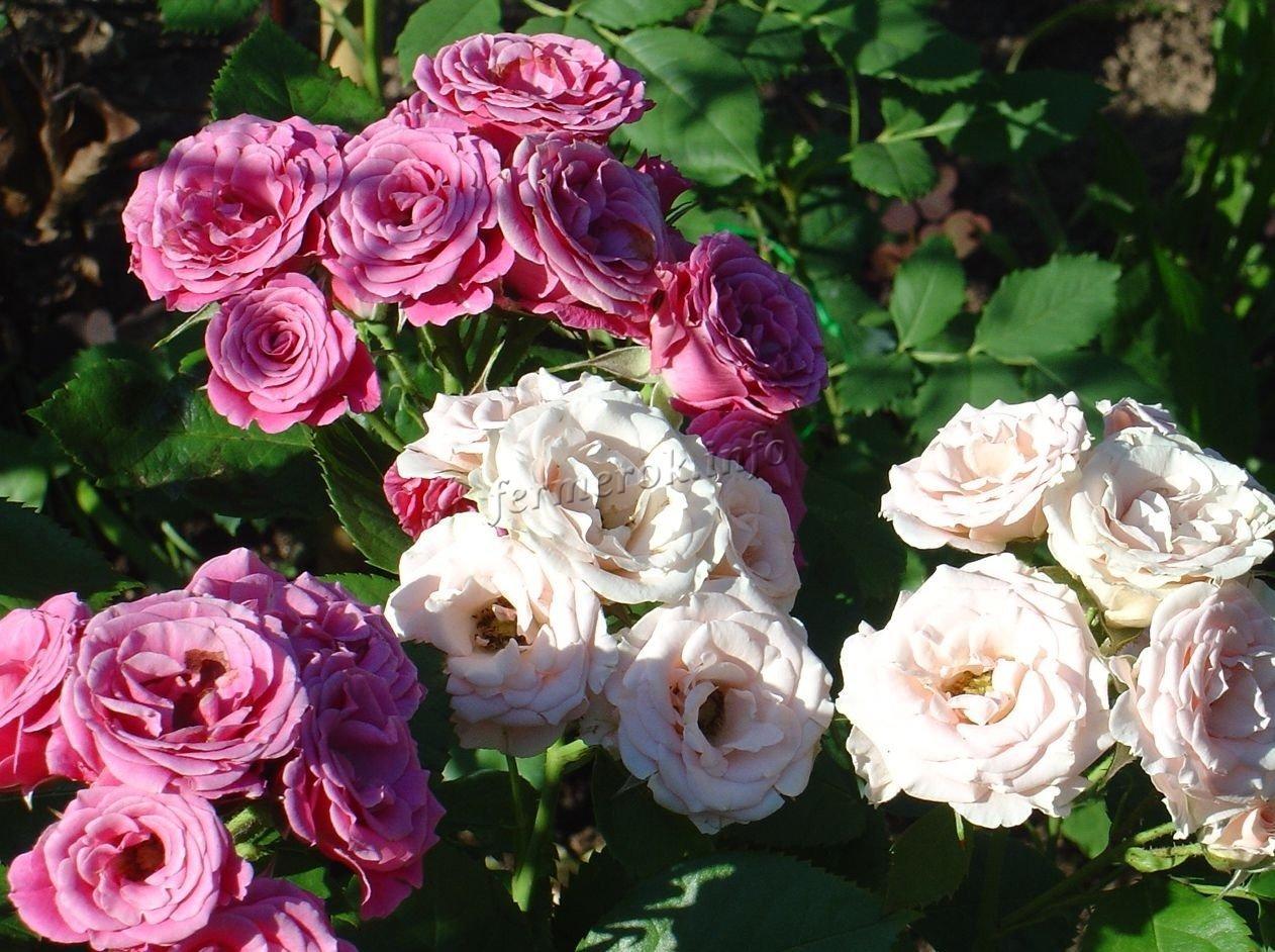 Размножения розы флорибунда