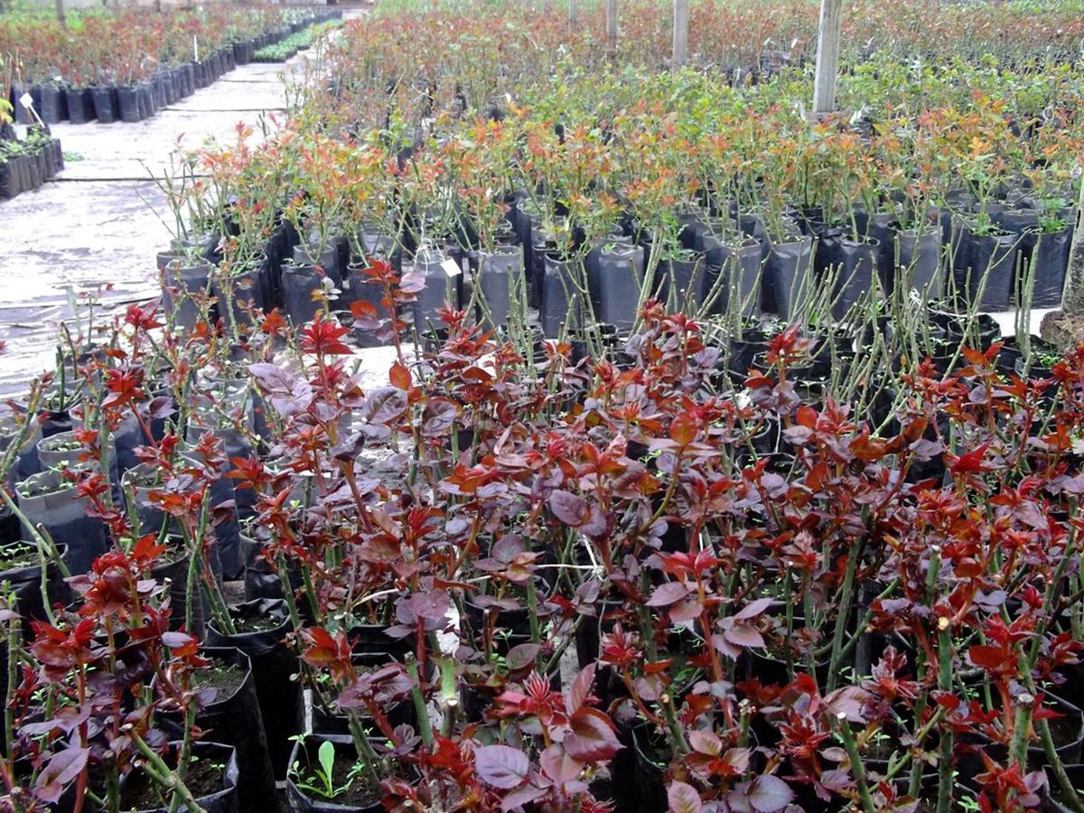 Размножение розы Флорибунда