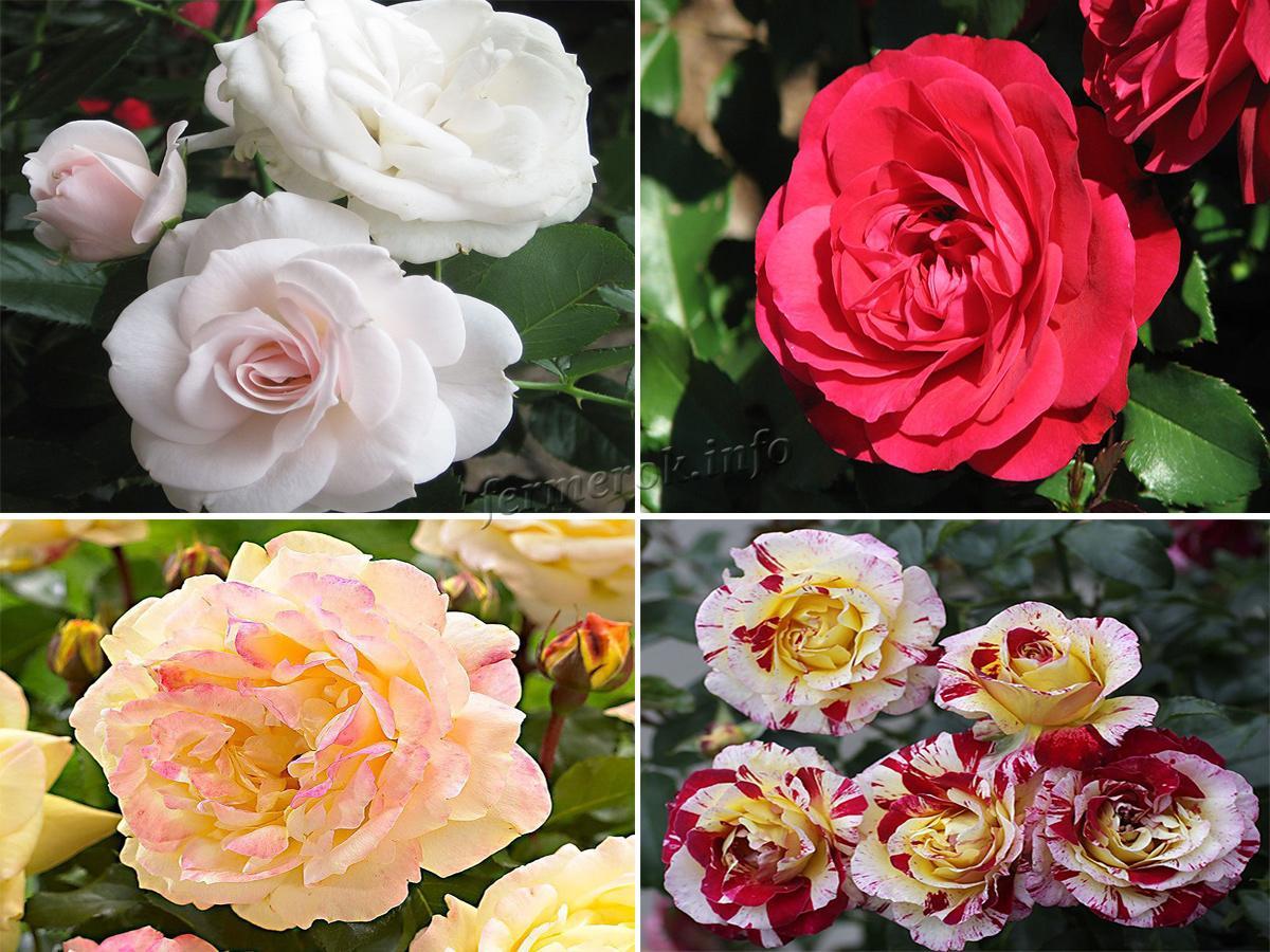 Роза Флорибунда и ее сорта