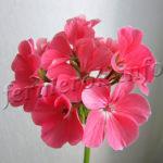 Цветок Герань посадка, выращивание и уход