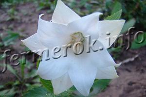 Цветок Платикодон посадка, выращивание и уход
