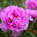 Декоративный цветок портулак