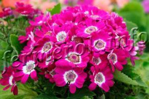 Сорта цветка Цинерария