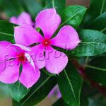 Виды цветов Барвинок