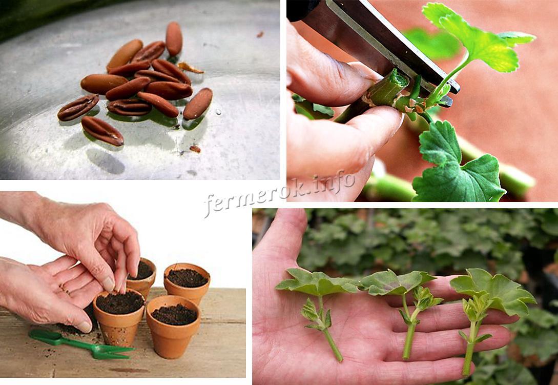 Размножение семенами или черенками