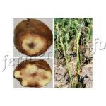 Описание, признаки, лечение фитофтороза картофеля