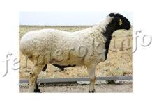 Курдючный баран, описание породы, разведение и уход