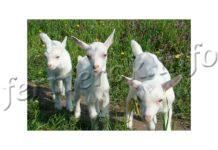 Породы коз, описание