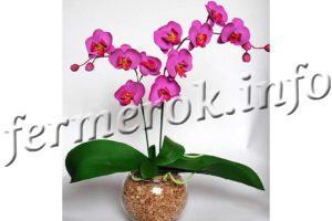 Орхидея Фаленопсис, уход в домашних условиях