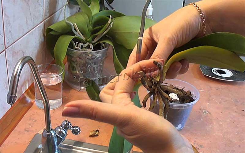 Как часто пересаживается орхидея