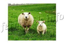 Породы овец, описание