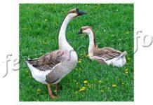 Породы гусей, описание