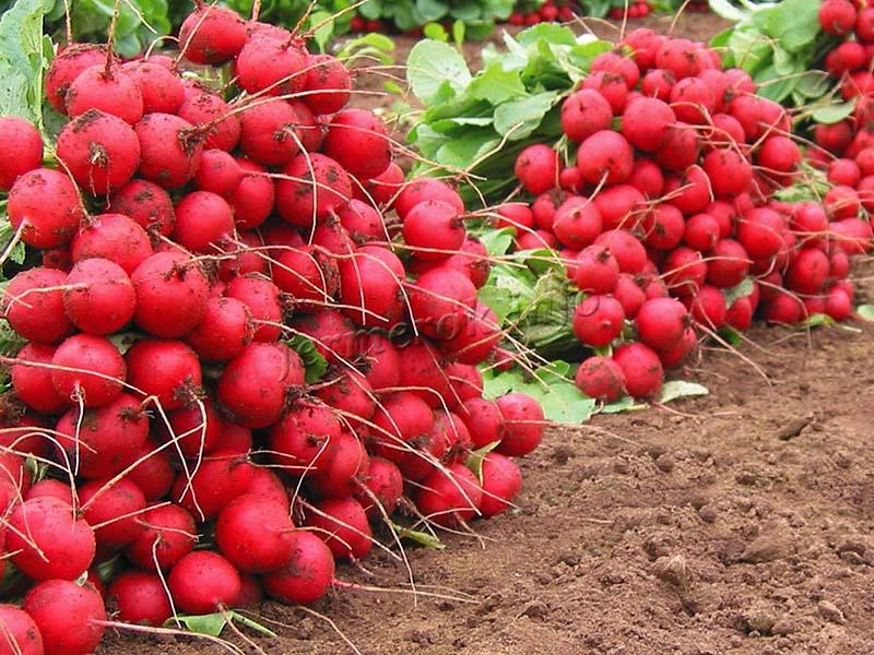Сбор корнеплодов