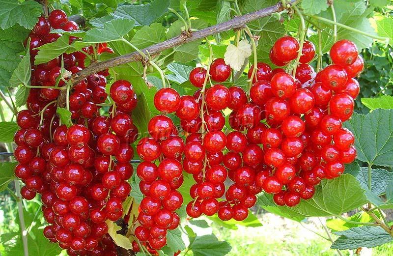 Описание сорта смородины Уральская красавица