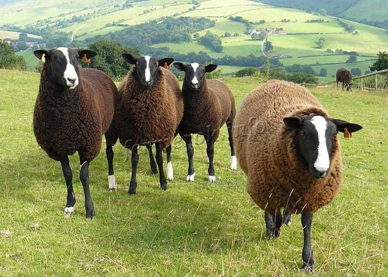 Мясомолочные породы овец