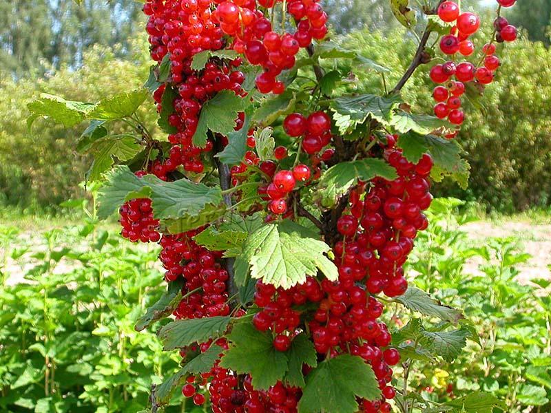 Выращивания Уральской красавицы