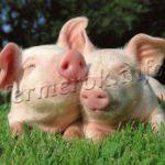 Разведение свиней в домашних условиях