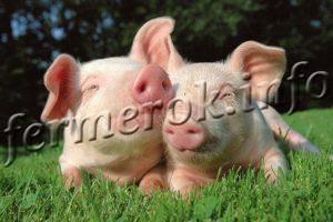 Изображение - Разведение свиней Razvedenie-svinej-300x200