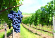 Виноград Амурский описание сорта