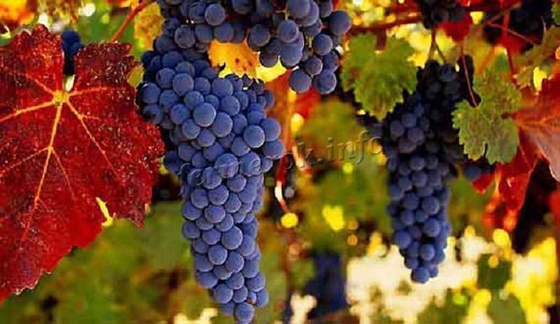 Созревание сорта винограда Амурский