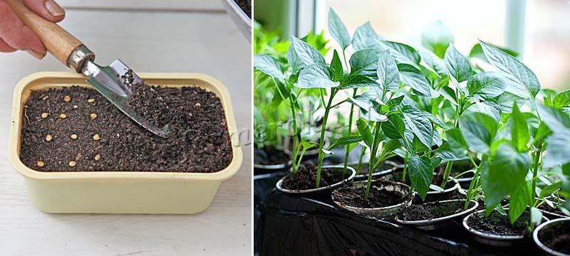 Покупка рассады или выращивание из семян