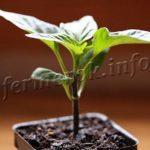 Вырастить рассаду перца в домашних условиях