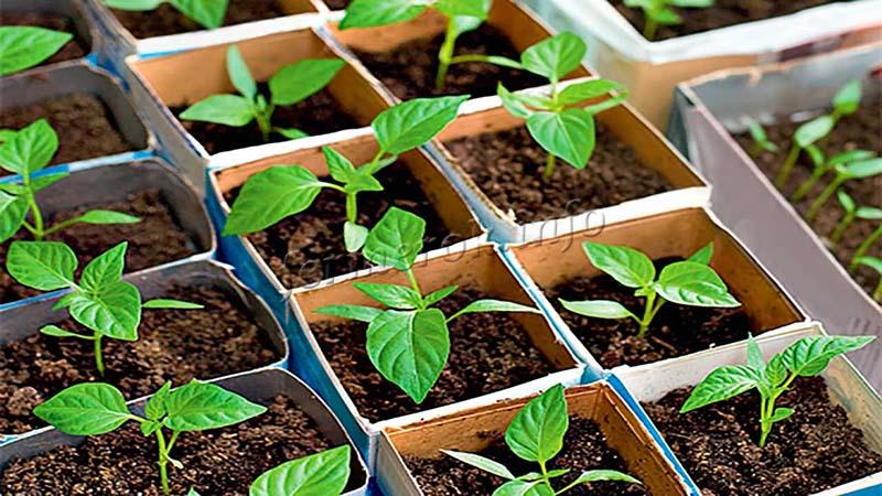 Сроки выращивания рассады перца
