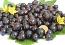 Сорт черной смородины Валовая