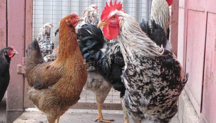 Ливенская ситцевая порода кур