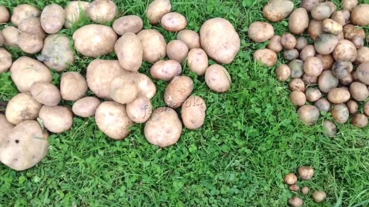 Характеристики картофеля Синеглазка