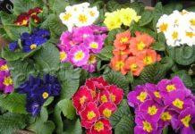 Примула многолетняя садовая