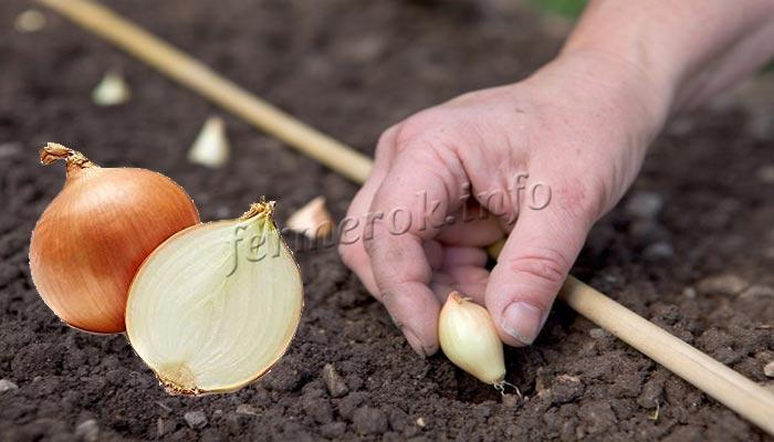 Фото посадки лука сорт Геркулес