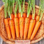 Фото морковь Тушон