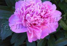 Фото цветка пион