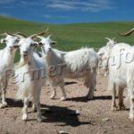 Фото пуховых коз