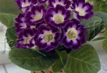 Фото цветка Глоксиния