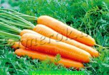 Фото моркови Королева осени