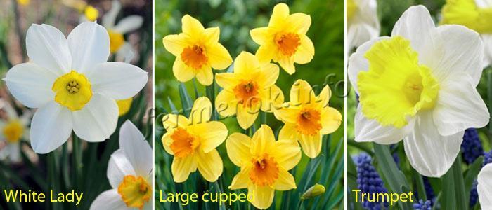 Фото сортов Нарцисс Мелкокорончатые, Крупнокорончатые, Трубчатые