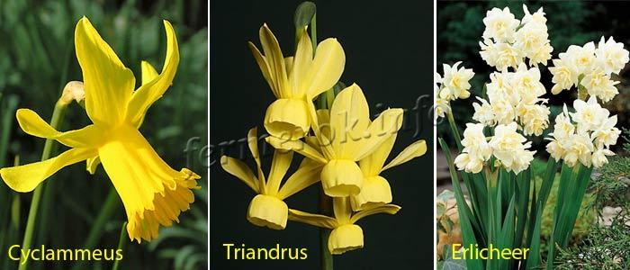 Фото сортов Нарцисс Цикломеновидные, Триадровые, Многоцветковые