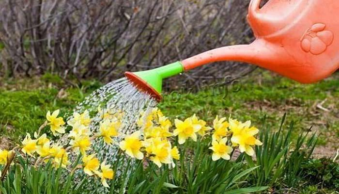 Полив цветов Нарцисс фото