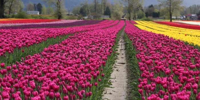 Выращивание тюльпанов в больших масштабах