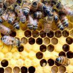 Фото расплода пчел