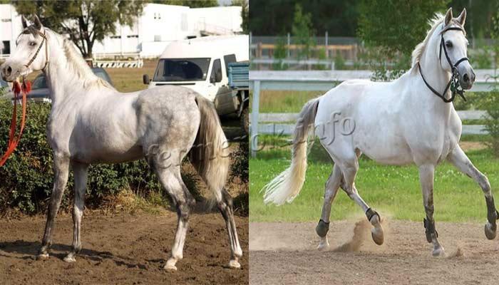 Терская порода лошадей фото