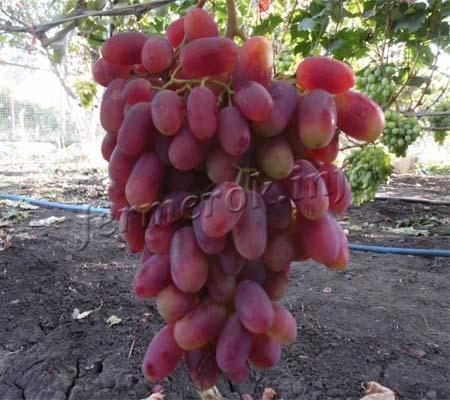Фото винограда Преображение