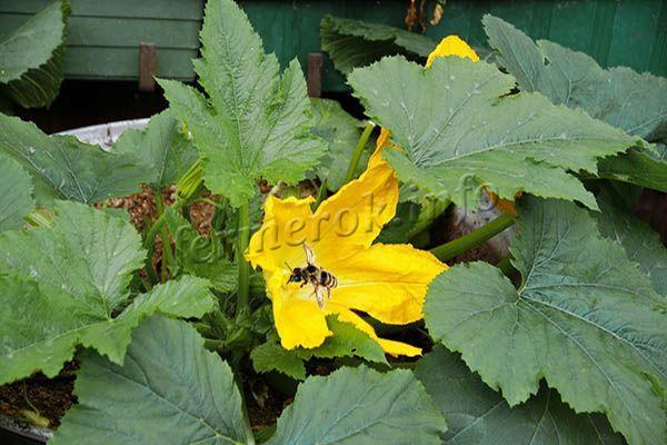 Большой урожай кабачков возможен при своевременном опылении цветков пчелами