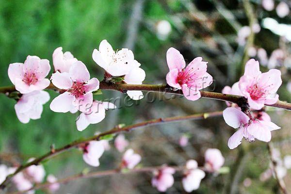 Форма цветов бокаловидная, всего на бутоне 5 бело-розовых лепесточка