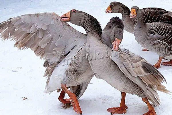 Фото Тульских гусей
